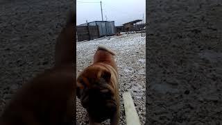 Порода Шарпей умный собак