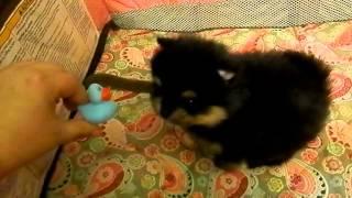 Maverick Male Pomeranian Puppy Black And Tan Mismark
