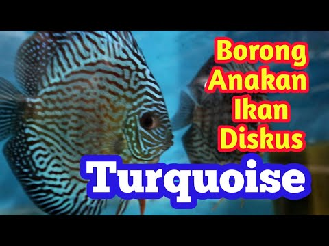 Buy Lots Of Baby Turquoise Discus Fish