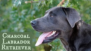 Charcoal Labrador Retriever - Is it right for your family?