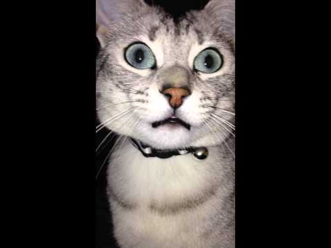 Funny cute egyptian mau cat. Very vocal