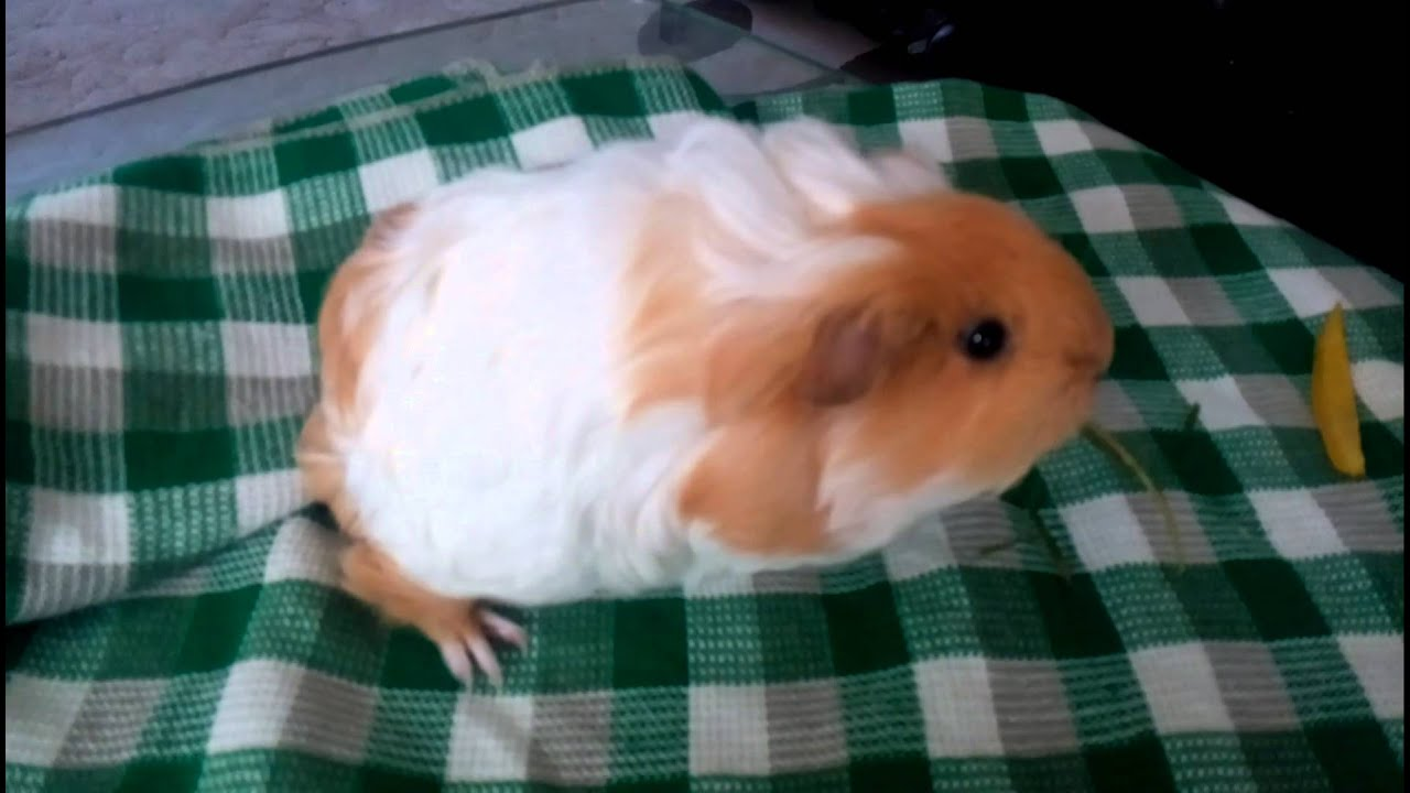 Guinea Pig Intro In Tamil Youtube