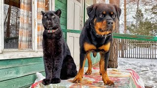 The birthday of Luna and Venza. Leopard and Rottweiler lunch