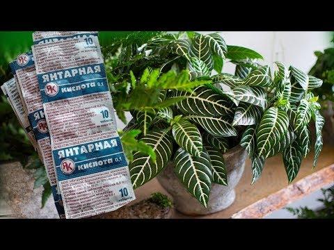 ЯНТАРНАЯ КИСЛОТА  - скорая помощь для комнатных растений. Это важно знать!Это важно знать!