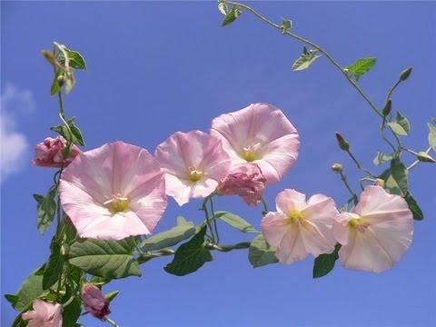 Красивый цветок. Цветы-вьюны. Кленик, белый вьюн - YouTube