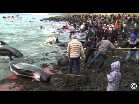 Whale hunt in Faroese. Grindadráp 2013 í Hvannasundi - Copyright