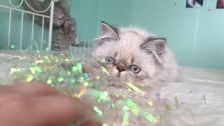 Перс линкс поинт . Гималайская кошка . Персюша новогодняя