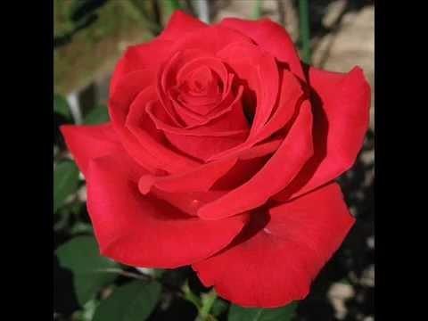 Rosa Roja Su Significado Youtube