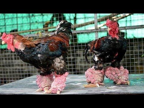 Cặp gà Đông Tảo giá 5.000$ chưa bán
