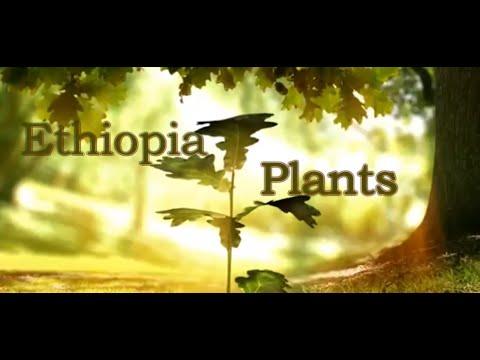 Ethiopia Plants