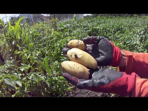 Картофель 2020г, каким будет урожай?