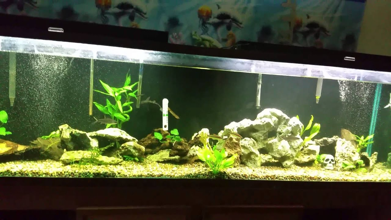 Freshwater aquarium fish oddballs - Freshwater Oddball Community Tank