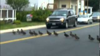 Duck Army with the Imperial March - Star Wars