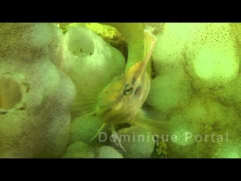 Blennie Paon Thau HD 0078 BI