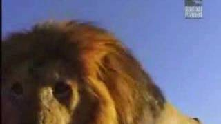 snake attacks lion