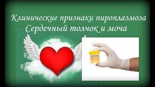 Пироплазмоз. Клинические признаки - сердце, почки.