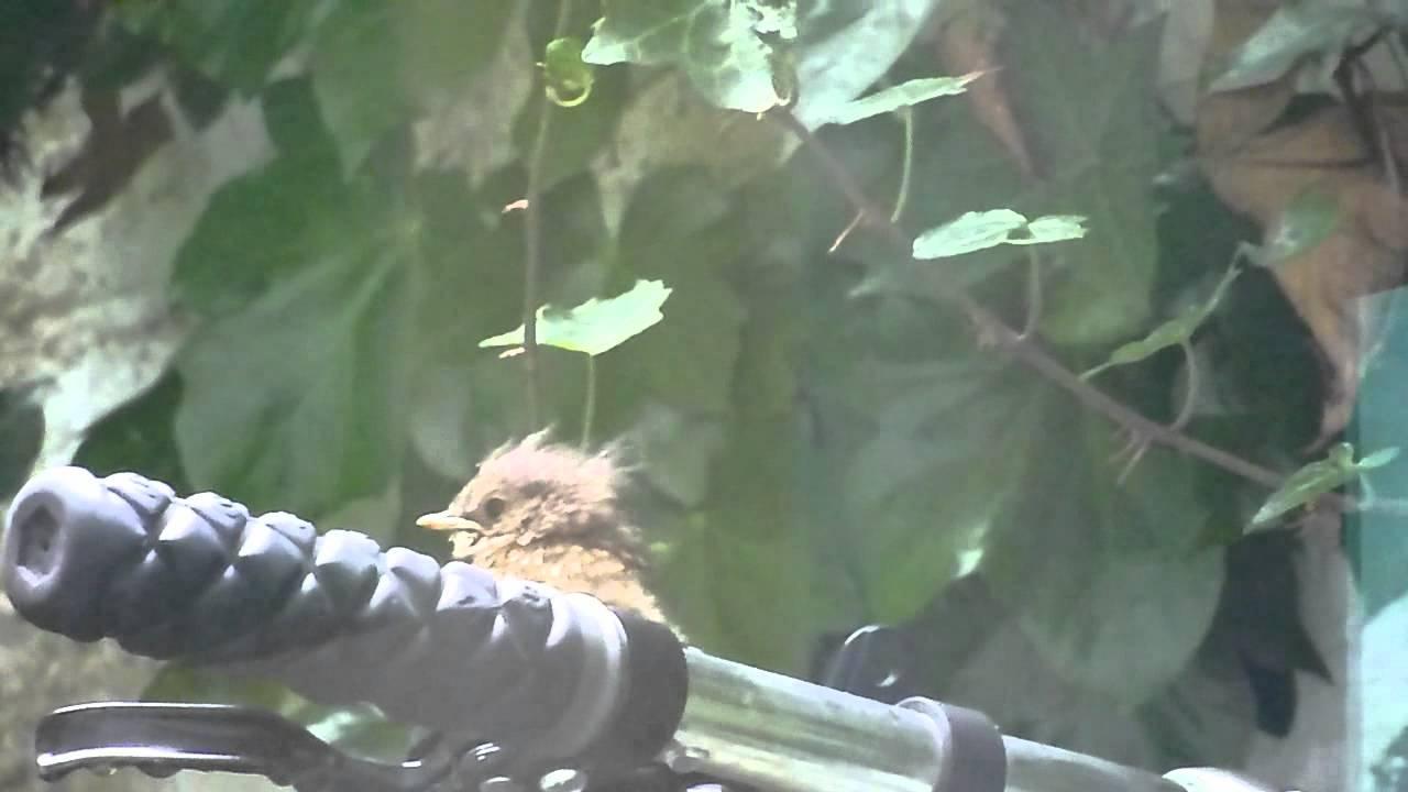 little robin red breast fledgling springwatch uk garden birds
