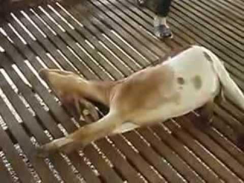 Malaysia Halal slaughter