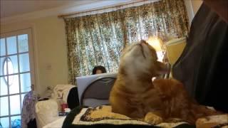 Slow motion cat head shake.