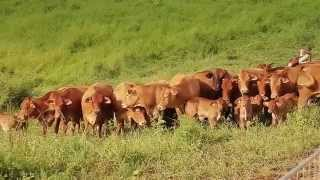 Eleveurs bovins de Nouvelle-Calédonie