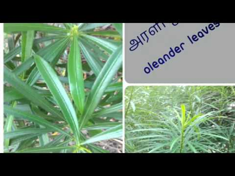 Leaves Names Tamil And English With Images 1 To 50