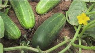 Food Gardening : How to Plant Cucumbers in a Garden