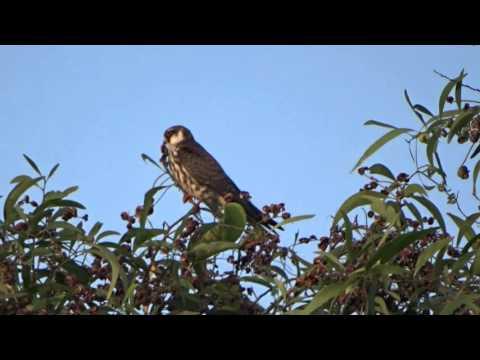 Amur Falcon, Pilerne, Goa, India, 1 Dec 2015