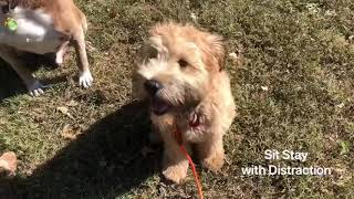 Max the Wheaten Terrier Puppy Board and Train