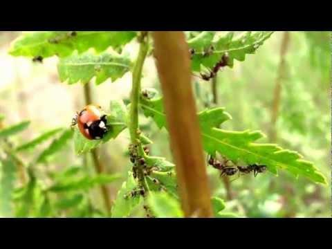 Божья коровка поедает тлю | Ladybug and aphid