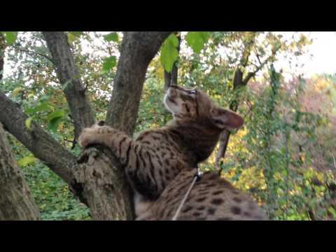 F3 Savannah Cat - Timeline
