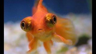 Пучеглазая, золотая рыбка Телескоп.  Carassius(, 2016-01-29T12:02:25.000Z)