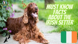 Getting To Know Your Dog's Breed: Irish Setter Edition