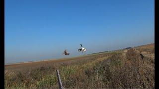 Фильм охота на куропаток Беларусь  2018 (охотник по перу), partridge hunting