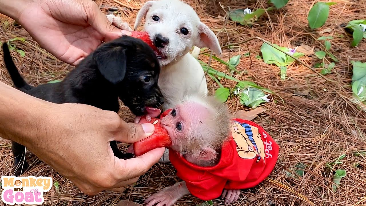 Baby monkey and puppies scramble to eat watermelon