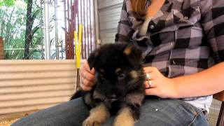 German Shepherd Puppy Cuteness