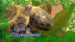 Степная черепаха ест одуванчик! (Steppe tortoise)