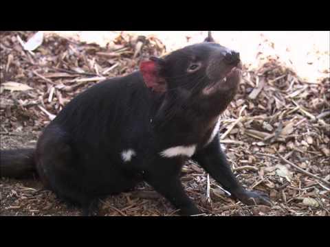 Tasmanian Devils Arrive at the San Diego Zoo