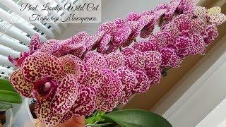 Шикарная ОРХИДЕЯ Дикий Кот Phalaenopsis Lioulin Wild Cat цветение орхидеи orchid orchids супер