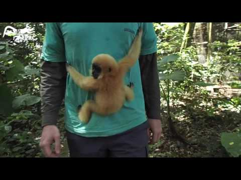 Hand-feeding baby gibbon for the first time