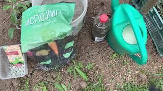 Высаживаю огурцы,капусту в открытый грунт