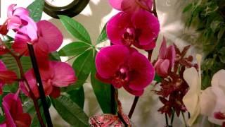 Орхидея  Фаленопсис_ Уход_ Коротко о главном(В этом видео я рассказываю об уходе за орхидеей Фаленопсис.☀     О том как выращивать эту орхидею в комна..., 2015-11-07T01:50:05.000Z)