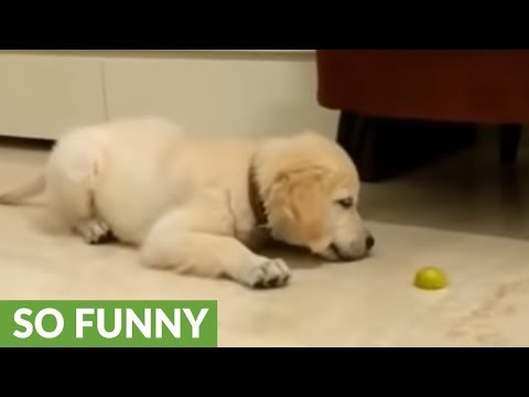 Puppy fights off evil lemon attack
