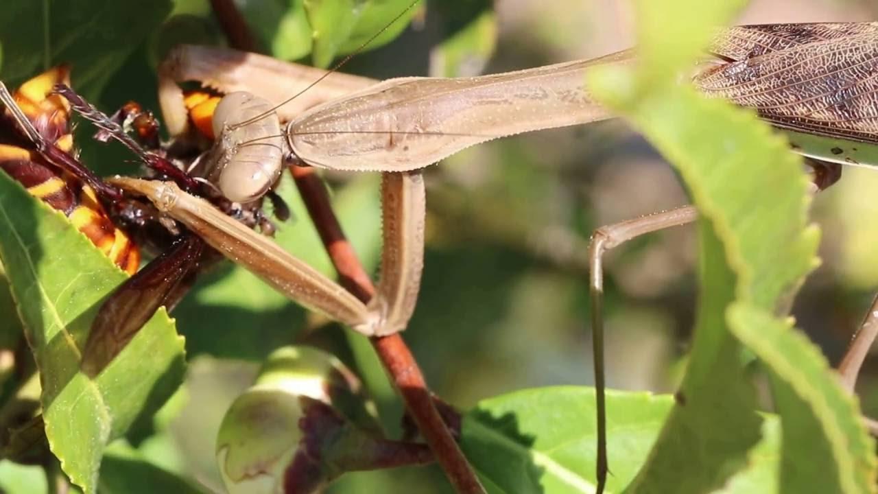 スズメバチ カマキリ