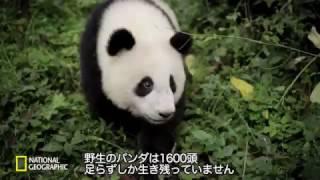 【ナショジオ】「ジャイアントパンダ〜自然にかえる〜」より