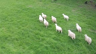 FARM EMERGENCY: Safely Herding a Sick Sheep with a Drone!!!!!!