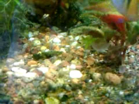My lil baby fish fry from blue balloon rams mixed for Fry baby fish
