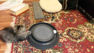Сибирская кошка 4 месяца (Игровой круг +Дом