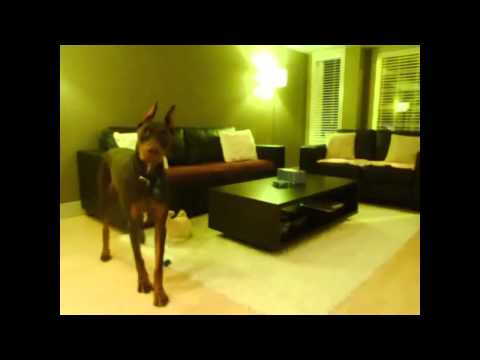 Doberman Guard Dog Spots An Intruder Outside Our Home!