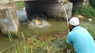 😱Incredible Red bellied Fish Catching 🎣||Big Piranha Fish Catching|rupchand Fish 🐟|piranha Fishing