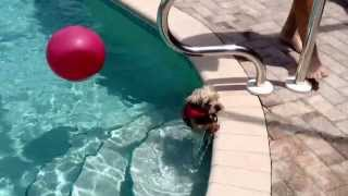 Dog Learning To Swim To Pool Steps.